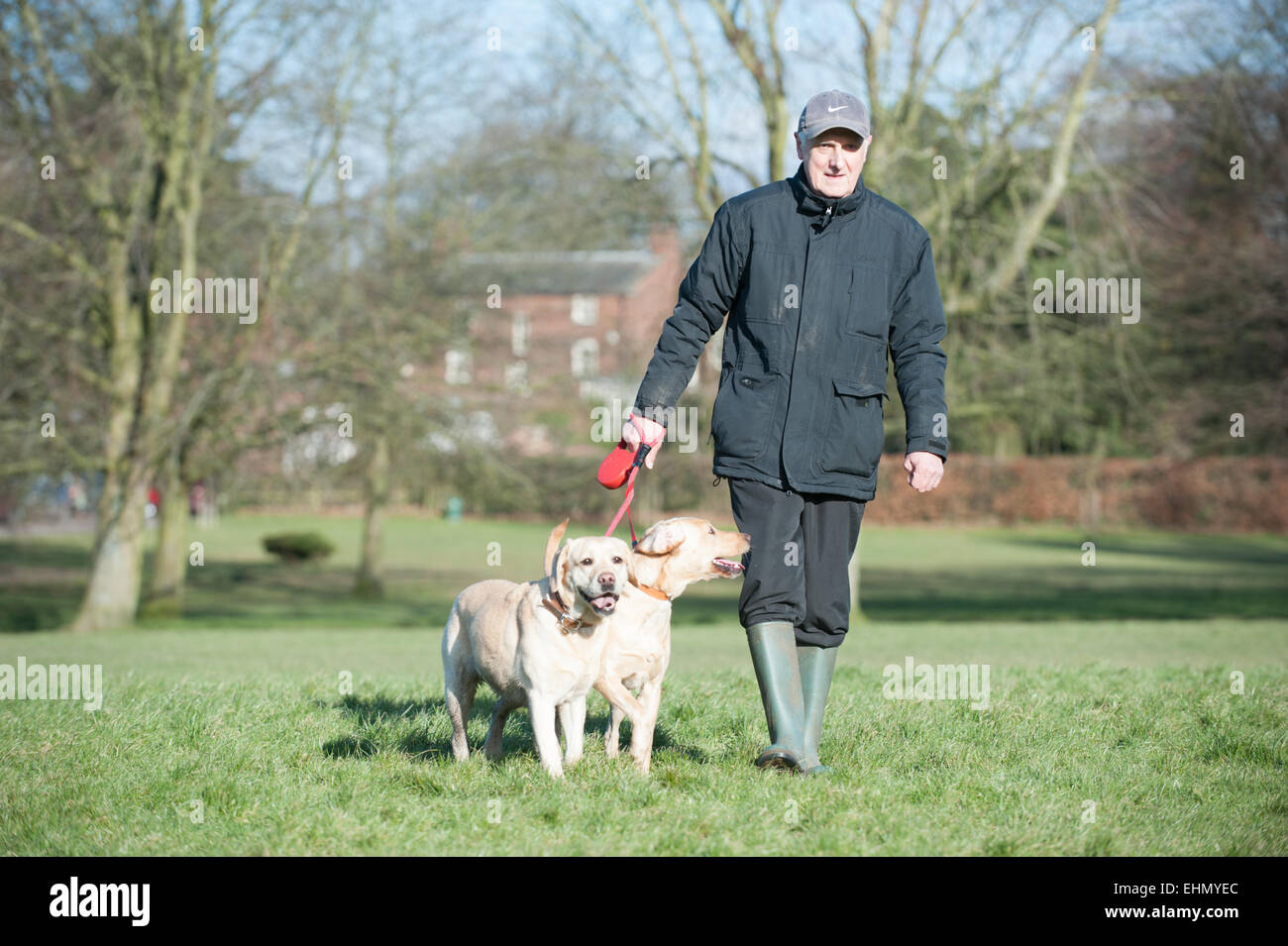 Retired older white man out in a parking walking his two obedient labrador dogs on a sunny winter day looking happy - Stock Image