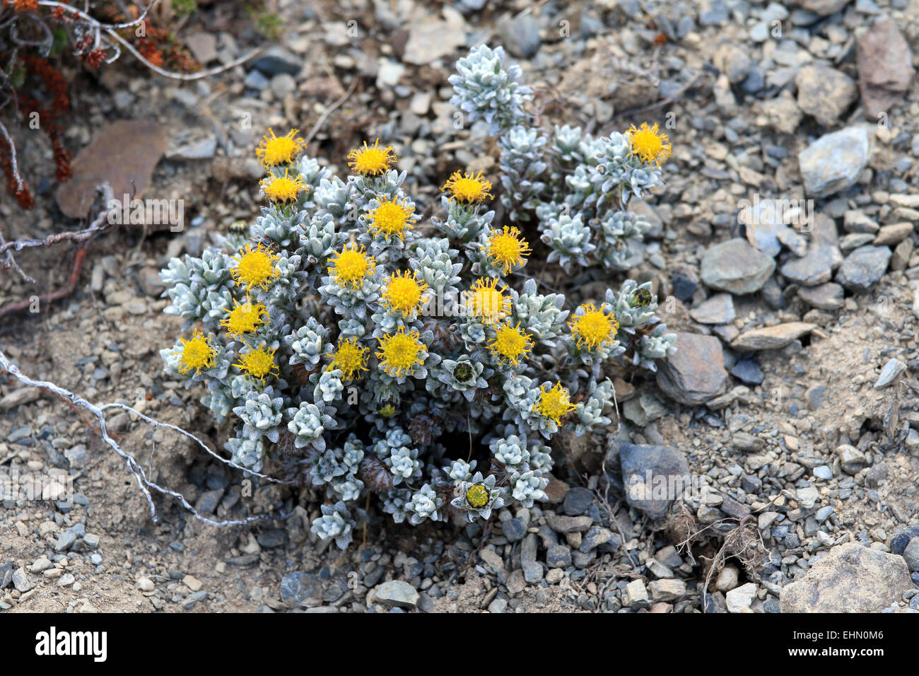 Small Succulent Plant With Yellow Flowers In The Mountains Of Stock