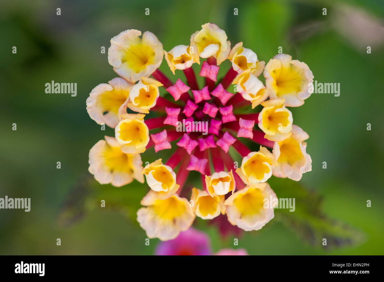 A Pink And Yellow Lantana Flower (Lantana camara)  growing in a garden near Lachi (Latsi), Cyprus - Stock Image