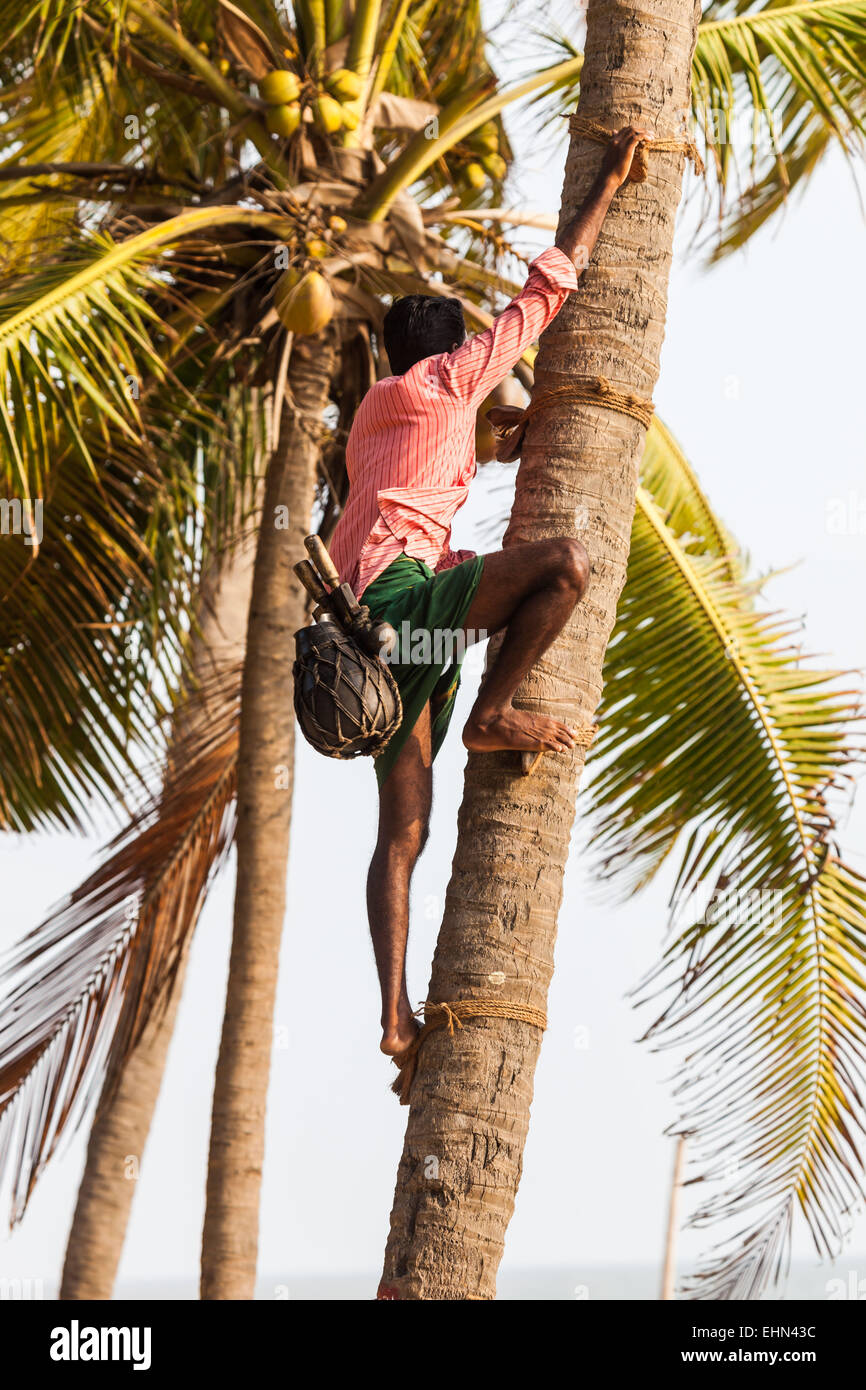 Harvest of the sap on a palm of Palmyra to make palm wine (Toddy), Kerala India. - Stock Image