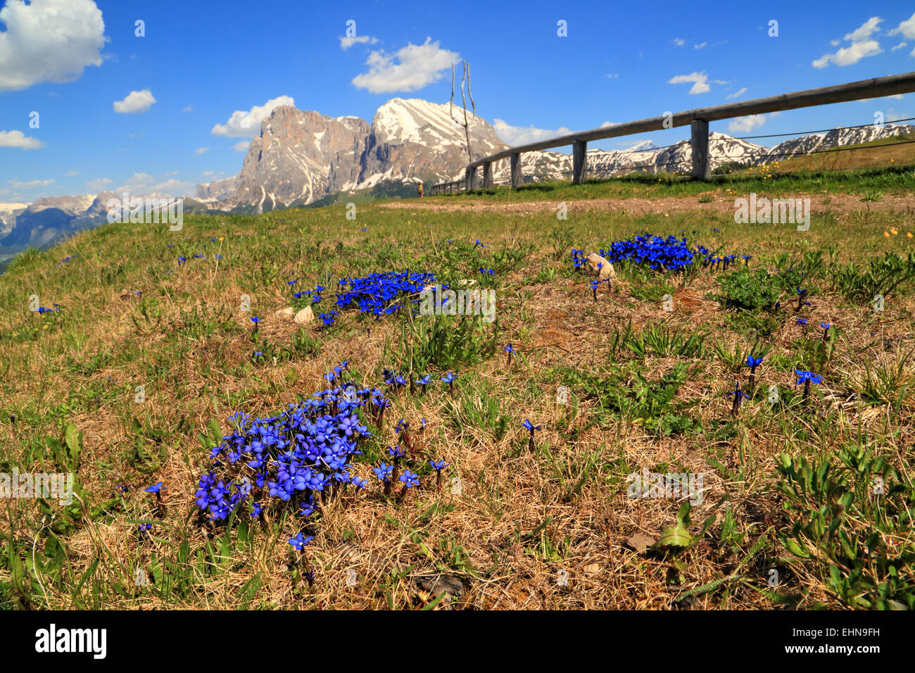 Spring Gentian (Gentiana verna), Seiser Alm, / Alpe di Siusi - Stock Image