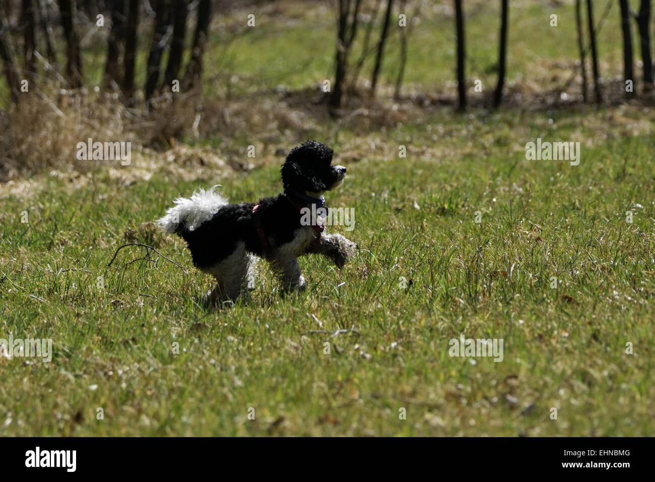 Playing poodles, Harlequin poodles - Stock Image