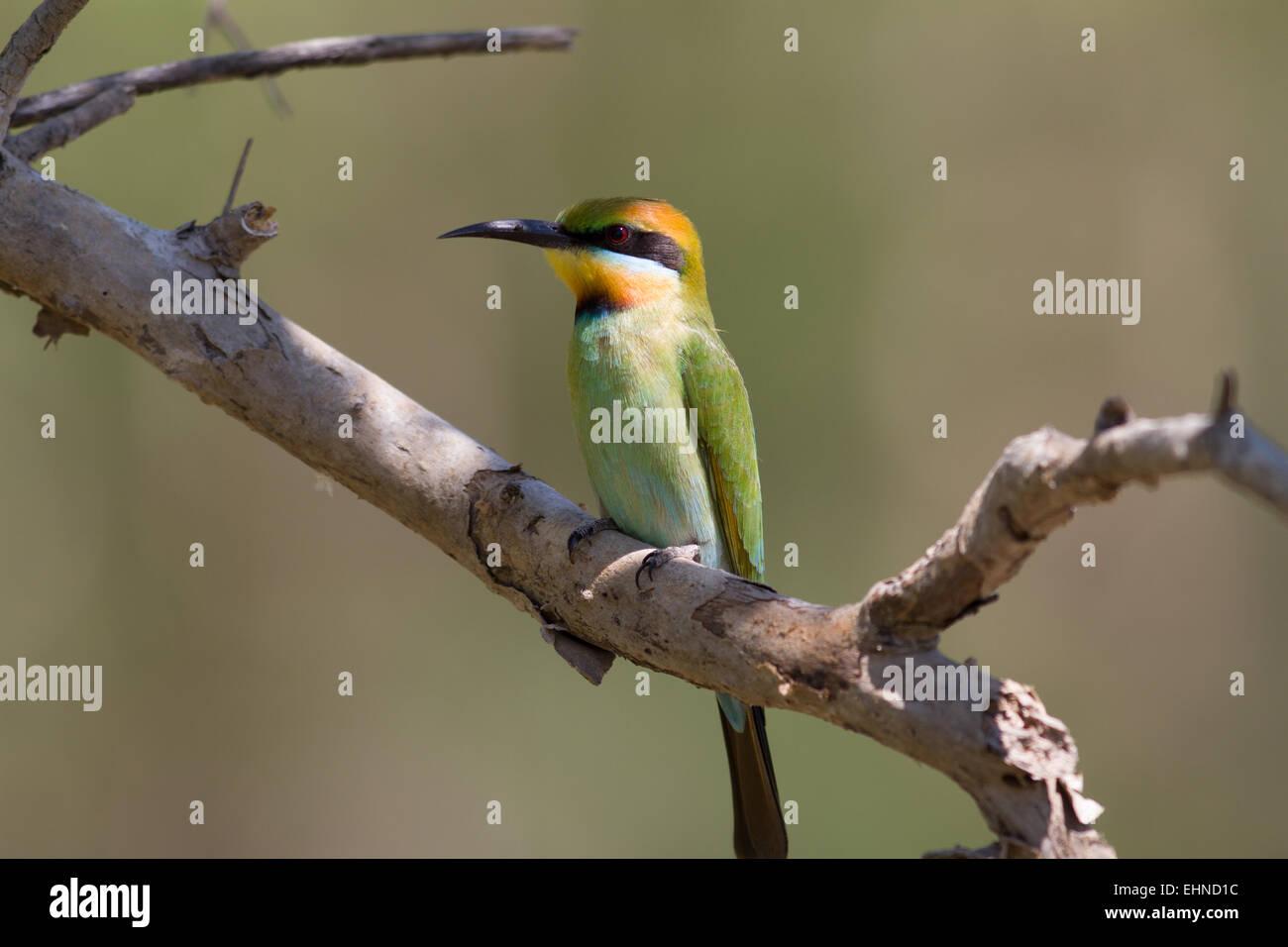 Rainbow Bee-eater - Stock Image
