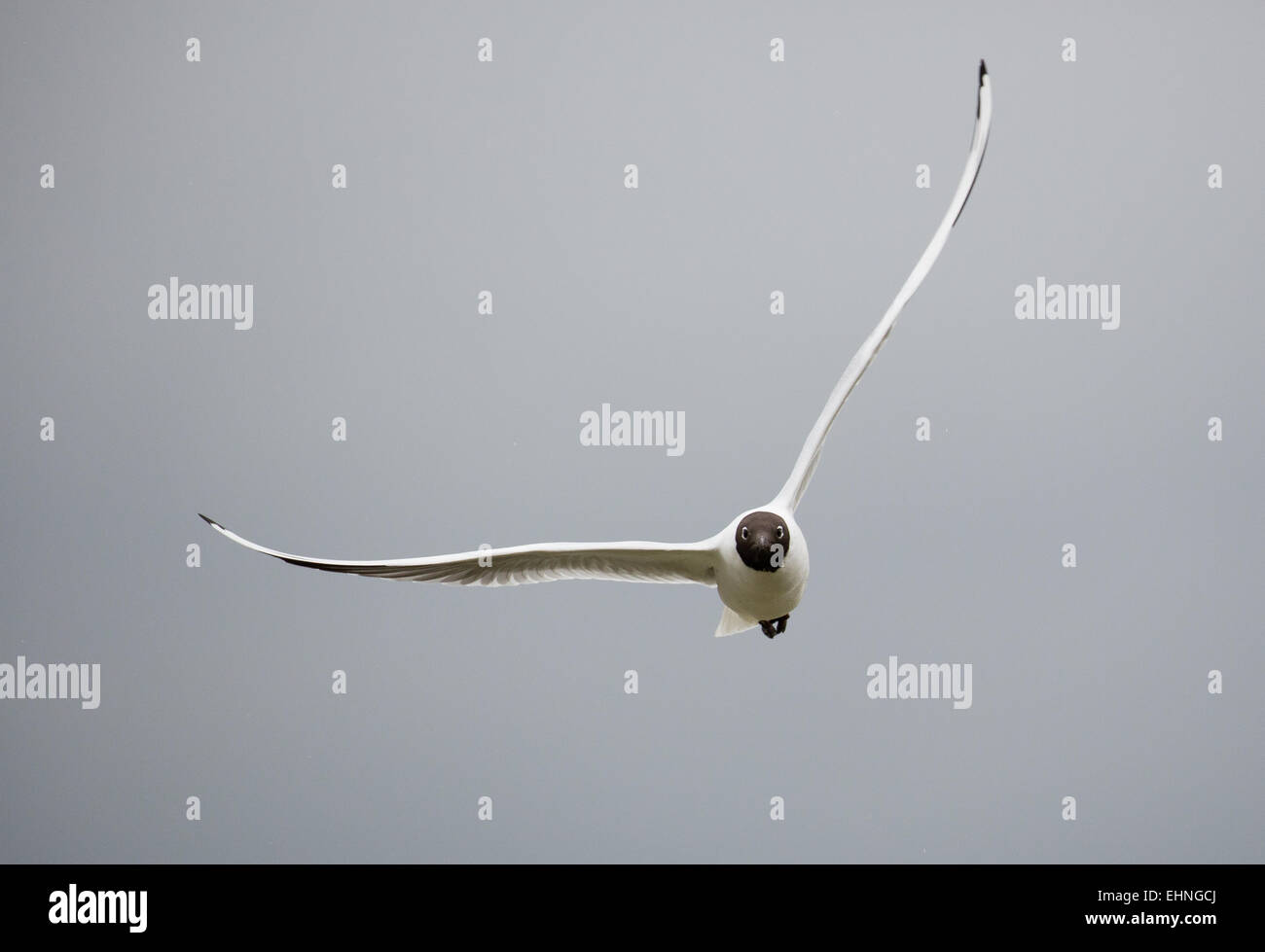 Frontal view of Black headed Gull Larus ridibundus in flight in strong winds - Stock Image