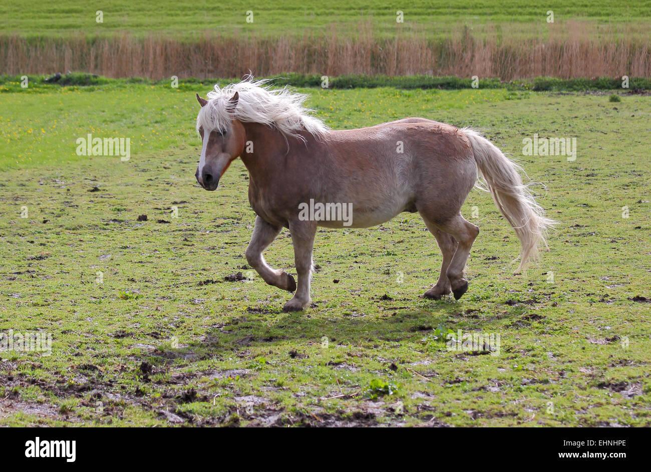 Haflinger gelding - Stock Image