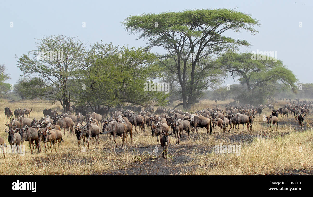 Herd of blue wildebeests, Connochaetes taurinus, moving during the Great Migration between Serengeti National Park, - Stock Image