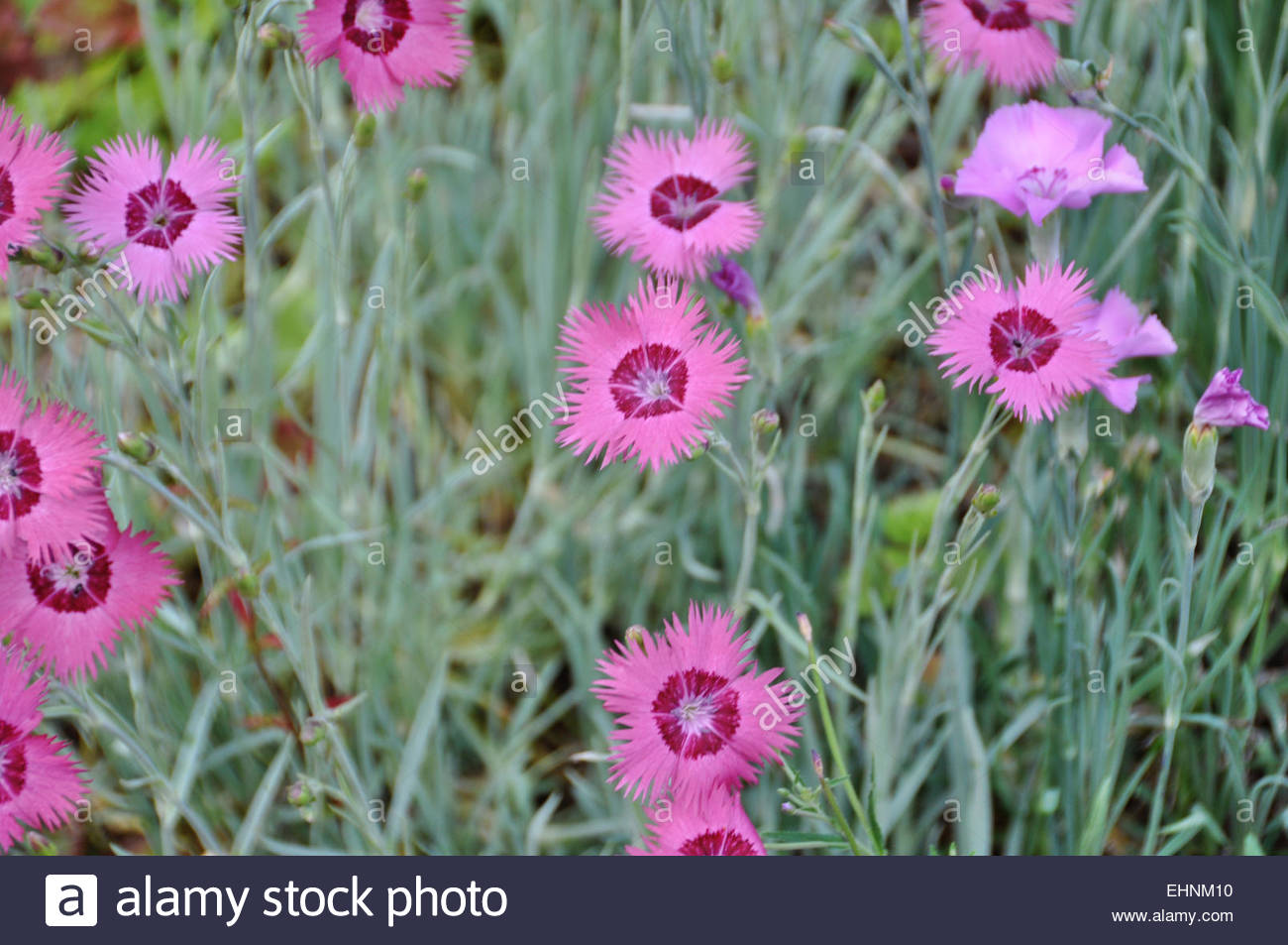 Dianthus gratianopolitanus - Stock Image