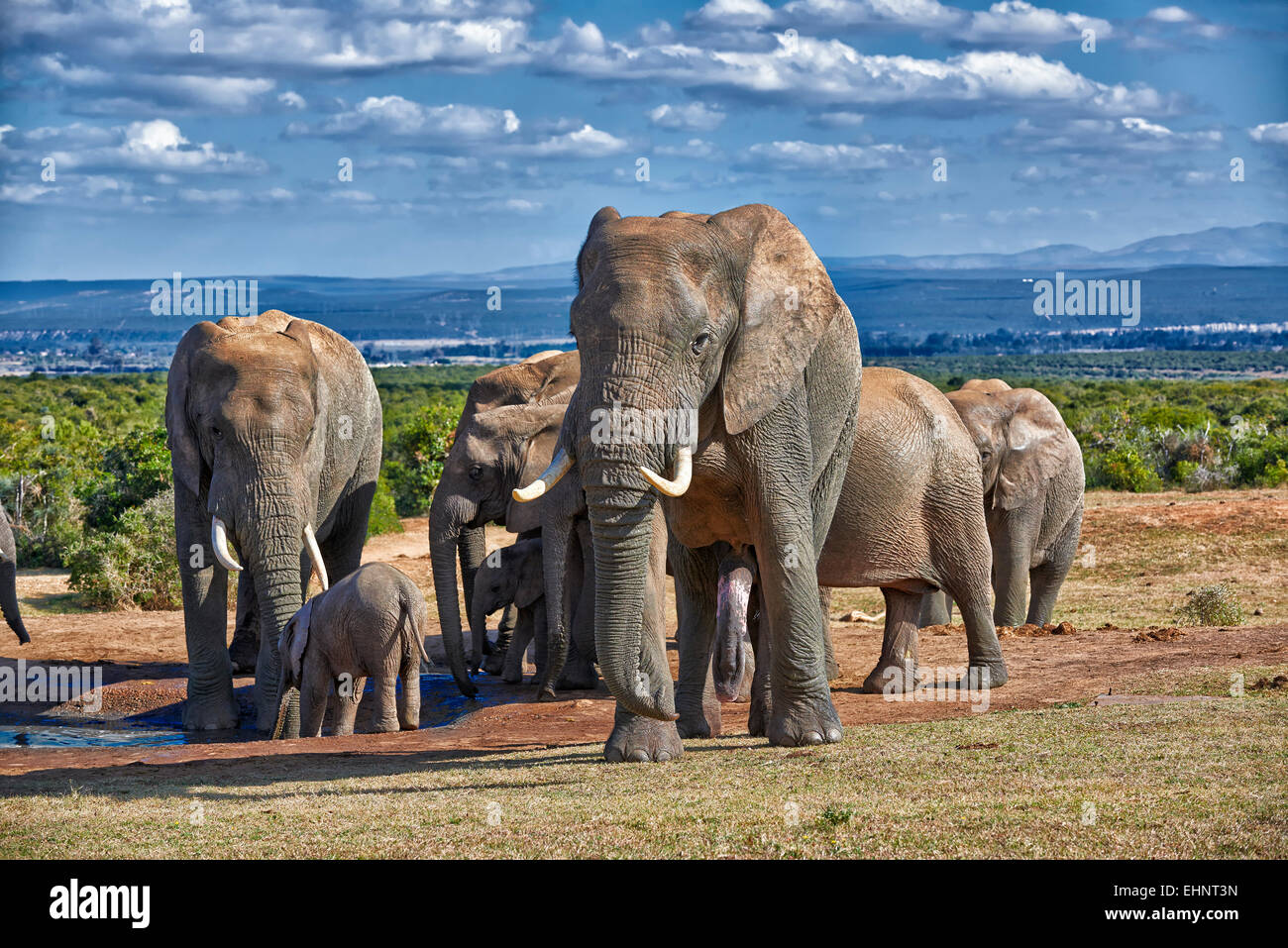 big male African bush elephant (Loxodonta africana), Addo Elephant National Park, Eastern Cape, South Africa - Stock Image