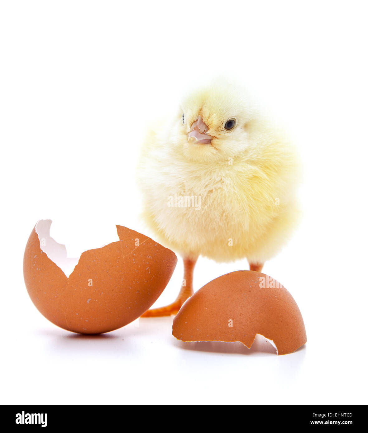 Cute little chick on white background - Stock Image