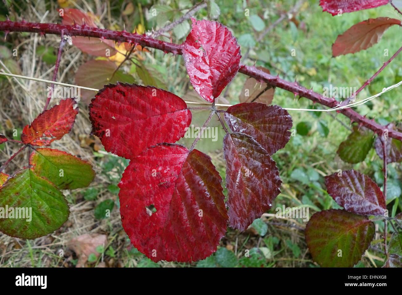 Red bramble, Rubus fruticosus, leaves turning colour in autumn, October - Stock Image