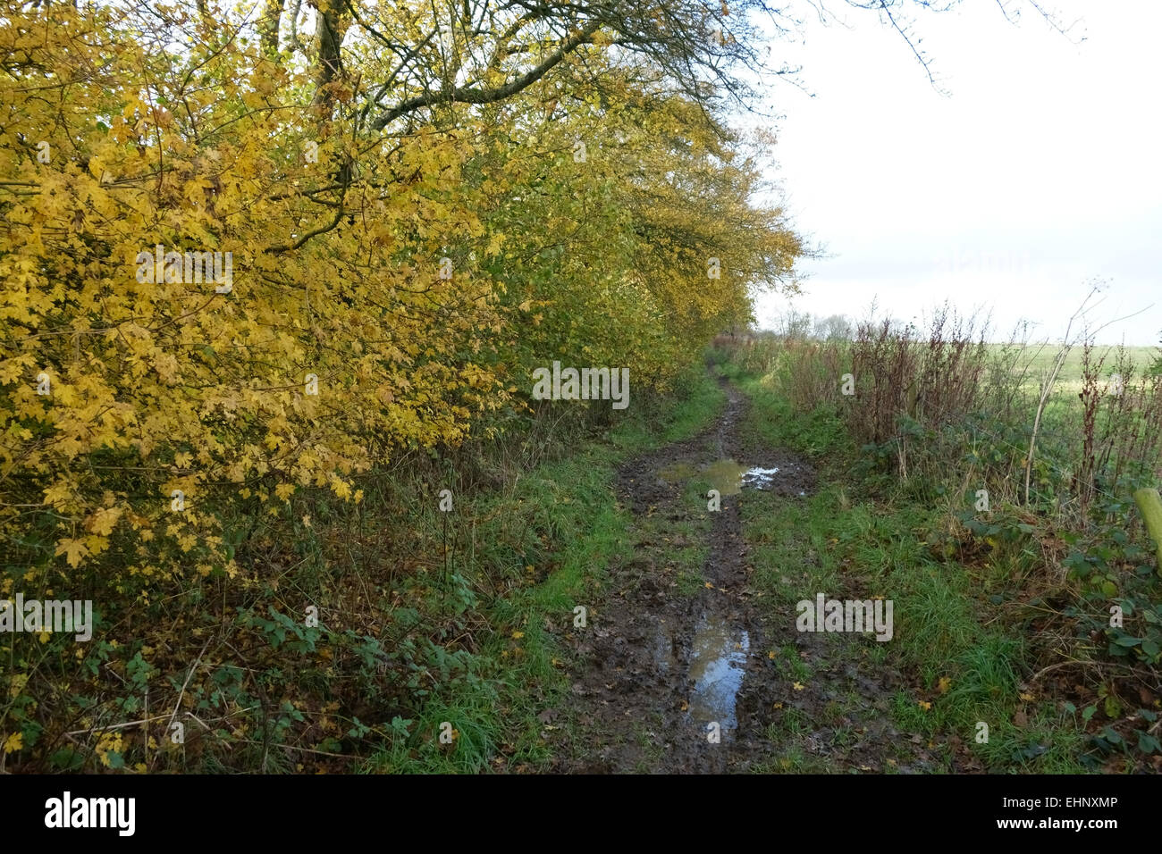 A muddy footpath beside a light wood with trees in autumn colour and a farmland cereal field, West Woodhay, Berkshire, - Stock Image