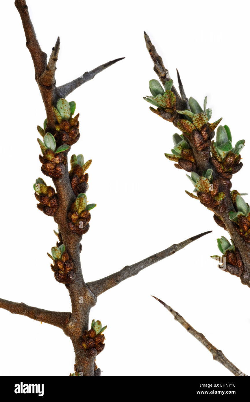 Common sea-buckthorn (Hippophae rhamnoides) twig with thorns and buds opening against white background - Stock Image