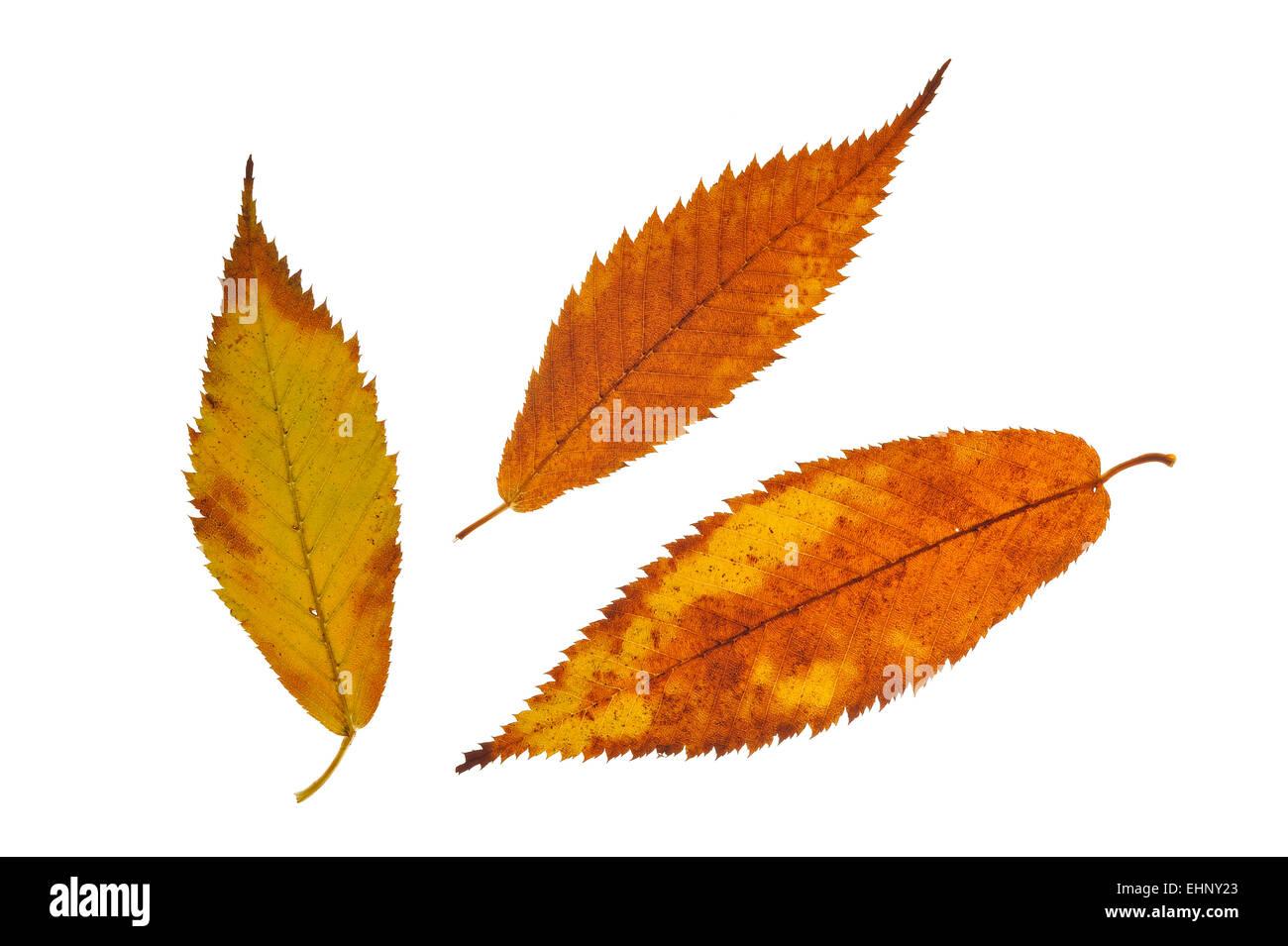 Hornbeam maple (Acer carpinifolium) leaves in autumn colours, native to Japan against white background - Stock Image