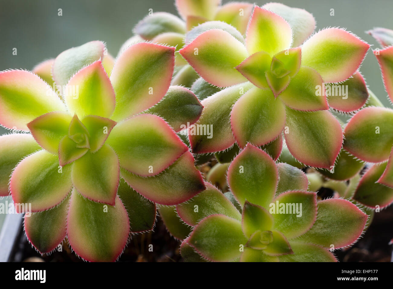 Close up of rosettes of the small, branching succulent, Aeonium 'Kiwi' - Stock Image