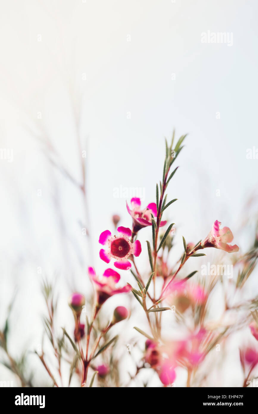 Geraldton Wax Flowers Pink White Stock Photo 79776915 Alamy