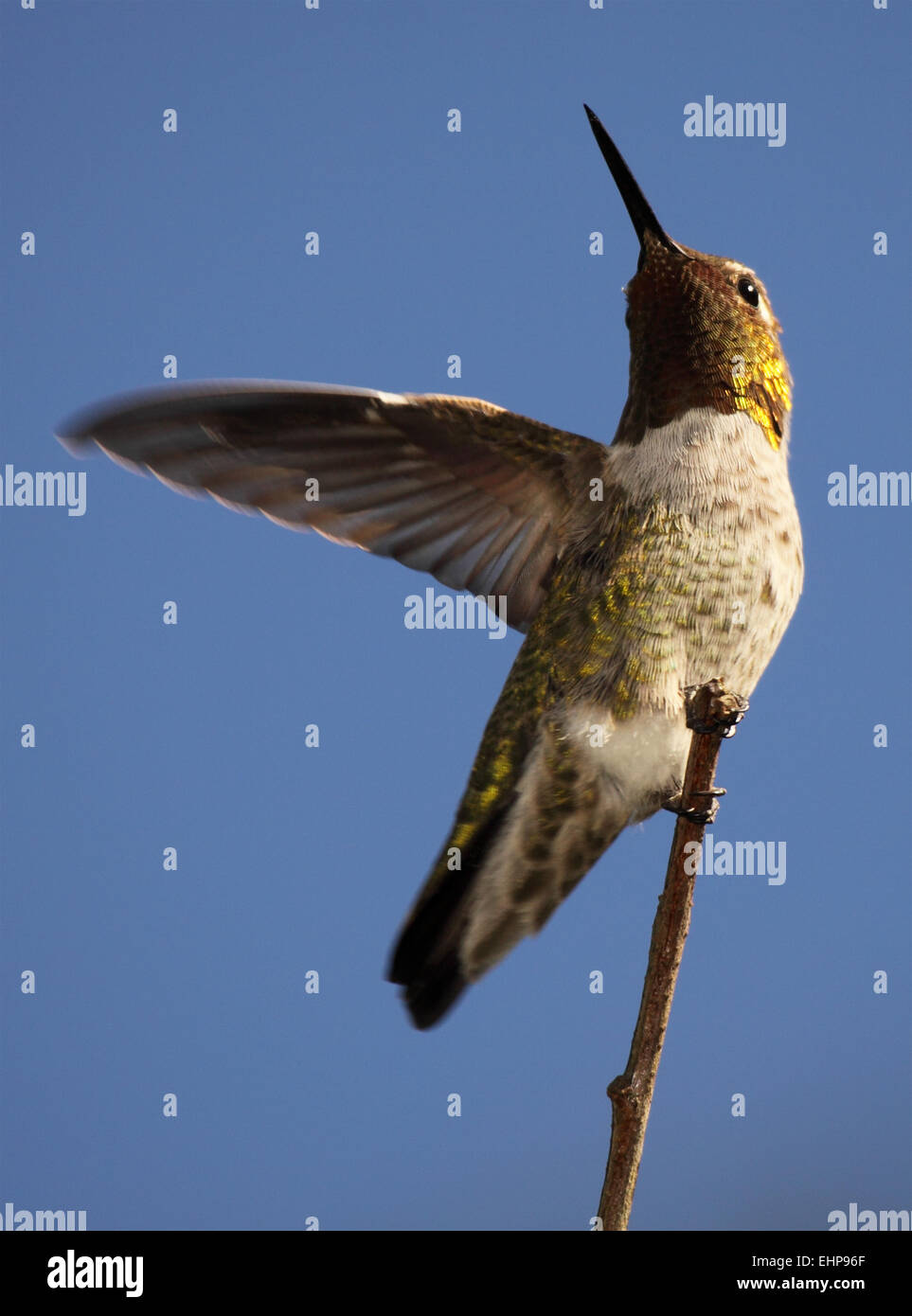 A male Anna's Hummingbird throwing out a wing. - Stock Image