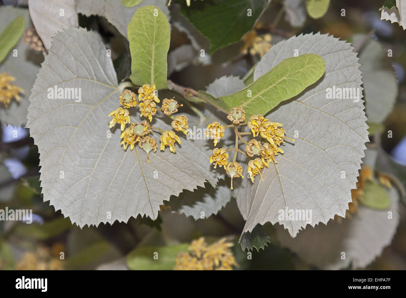 Lime blossoms - Stock Image