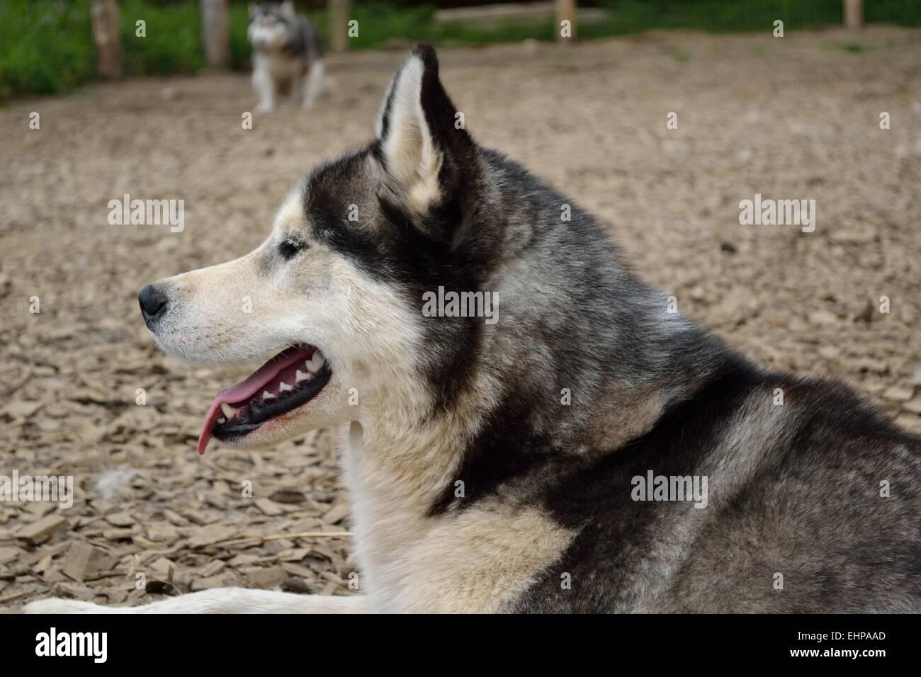 Husky panting - Stock Image