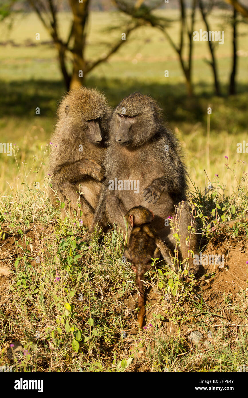 Olive Baboons  (Papio anubis) with babies, grooming Stock Photo