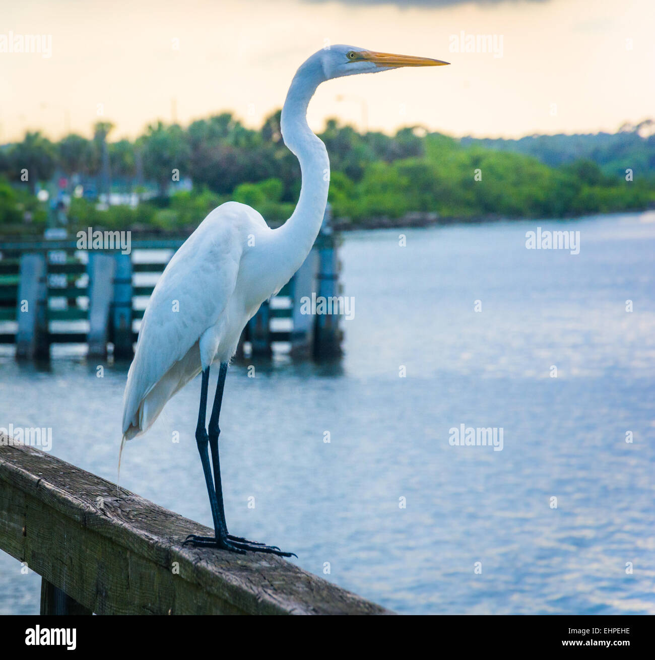 Egret on a fishing pier in Miami, Florida. - Stock Image