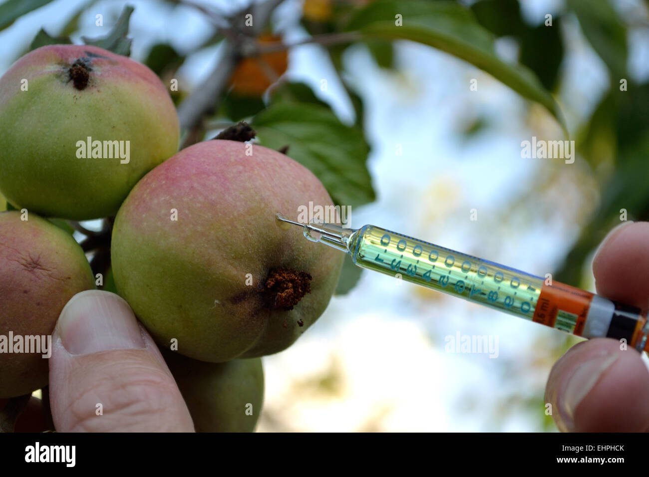 Genetic manipulation of old apple variety - Stock Image