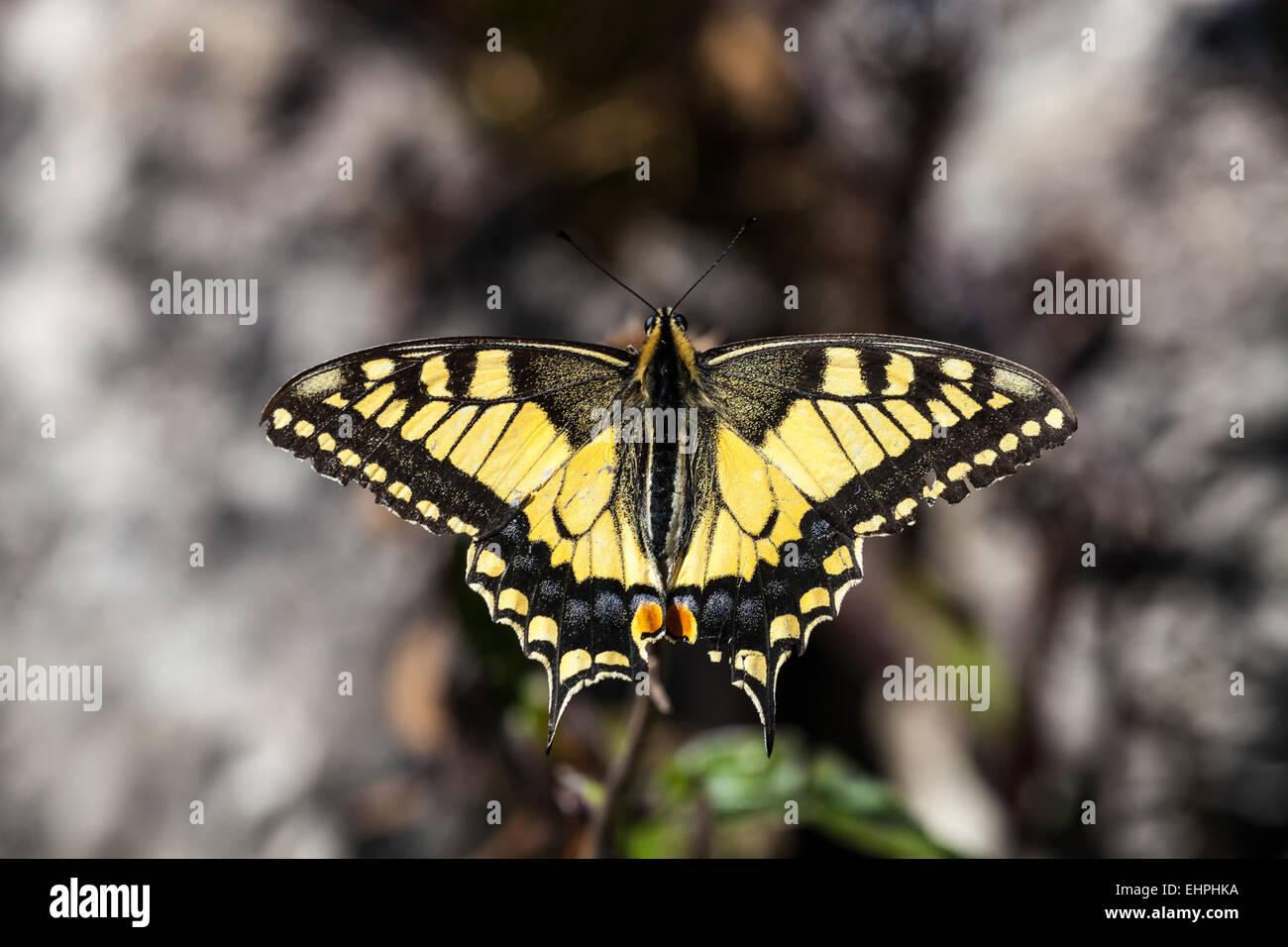 Old world swallowtail - Stock Image