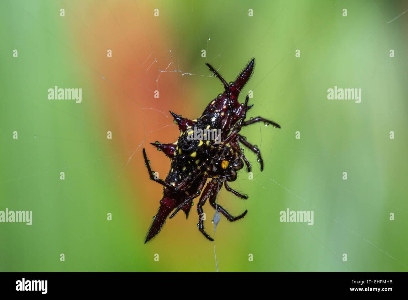 Jewel Spider Stock Photo