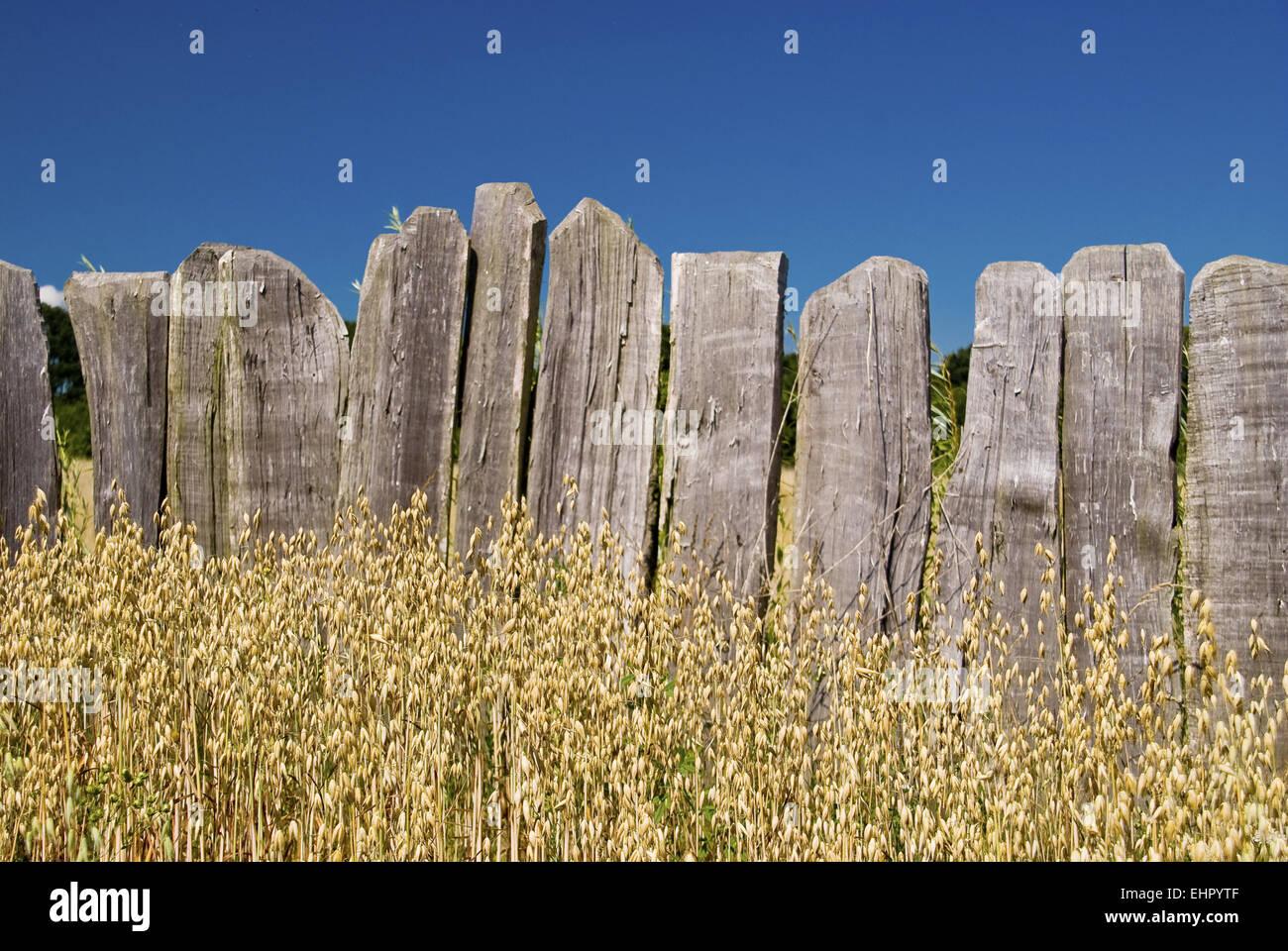 Cornfield - Stock Image