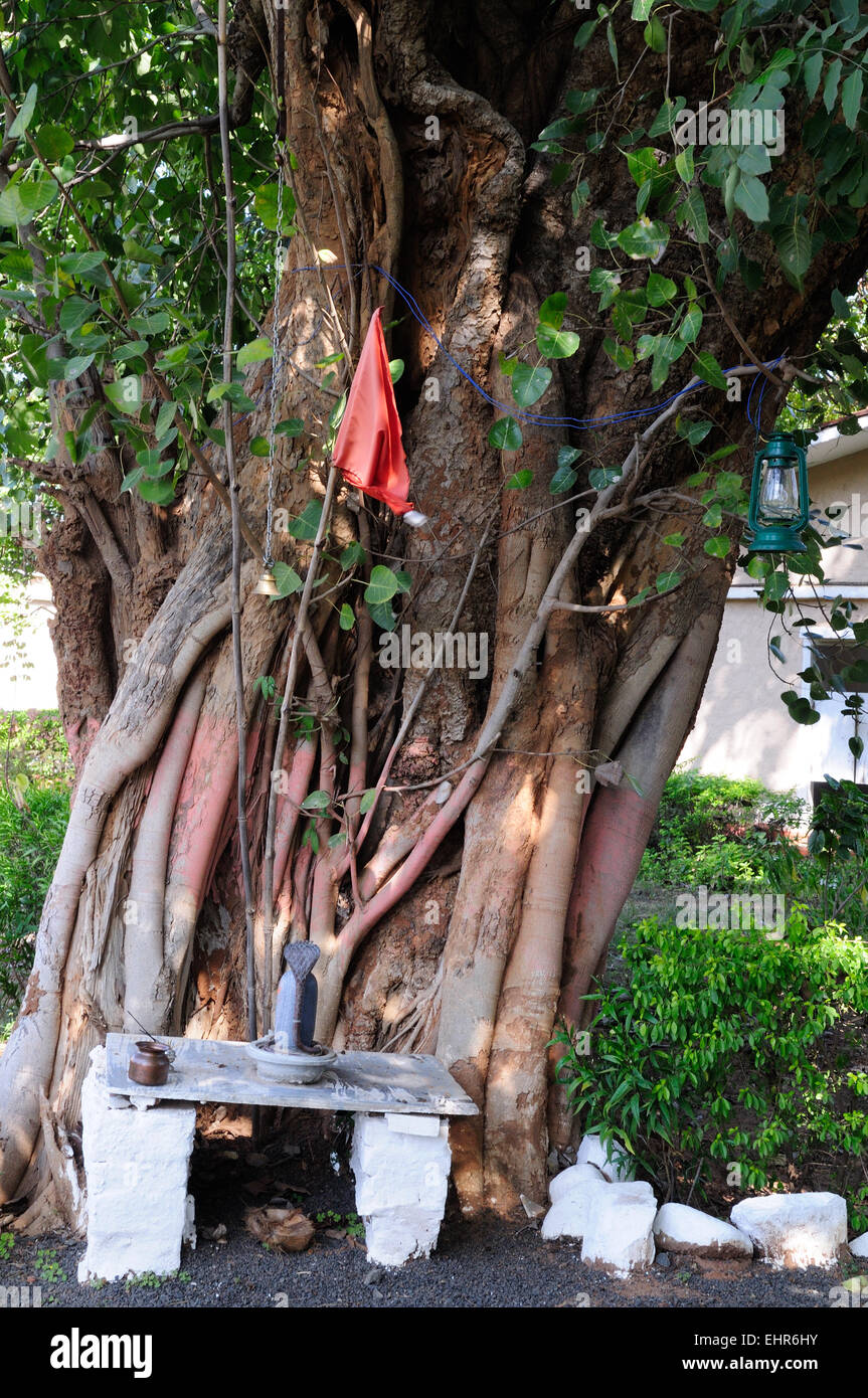 A shrine to Lord Shiva in the roots of a Banyan tree in the form of a snake Madhya Pradesh India - Stock Image