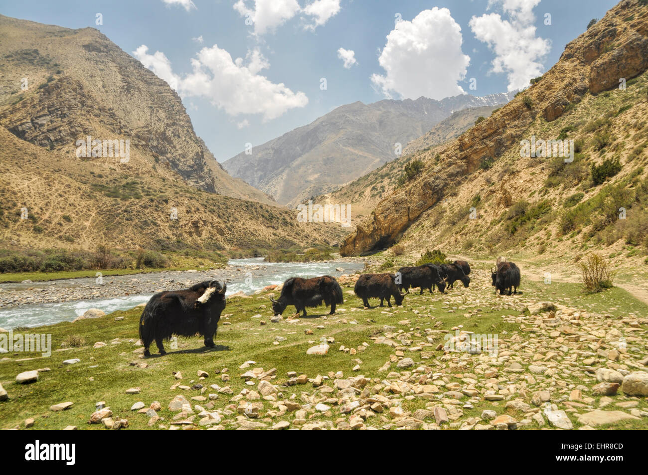 Yaks in scenic valley in Himalayas mountains in Nepal - Stock Image