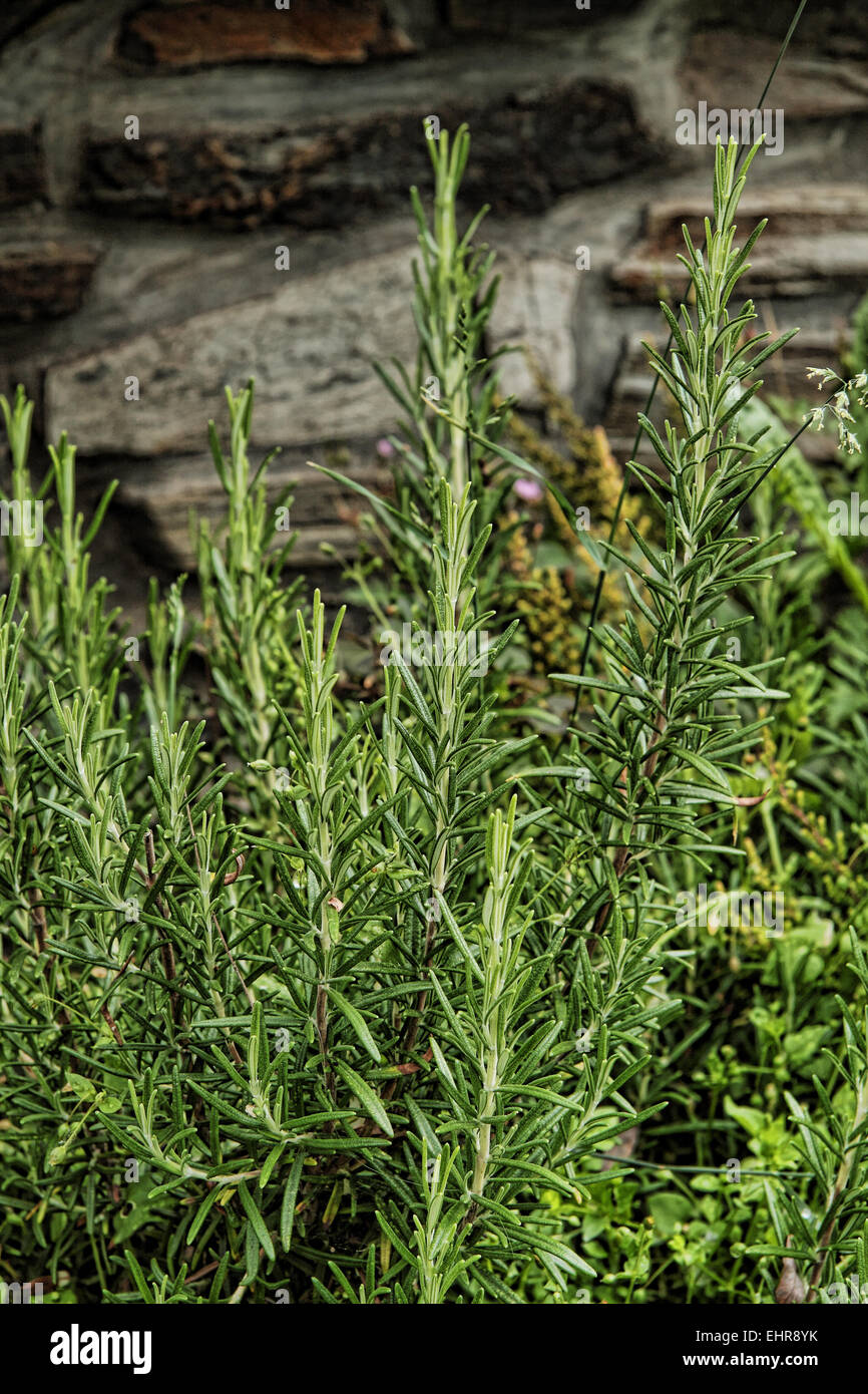Thyme grown in a Pot photographed up close. - Stock Image