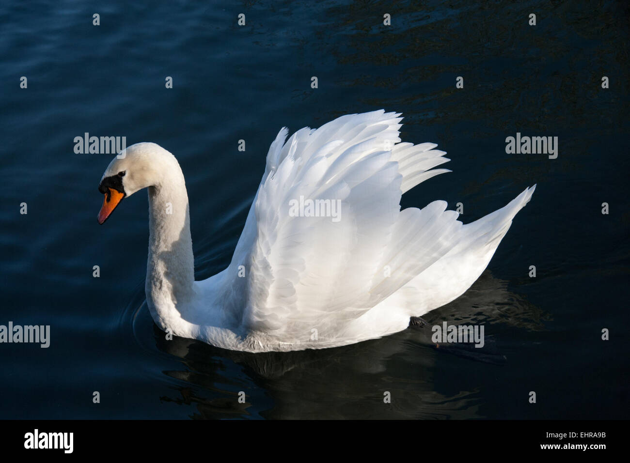 A mute swan with wings open - Stock Image