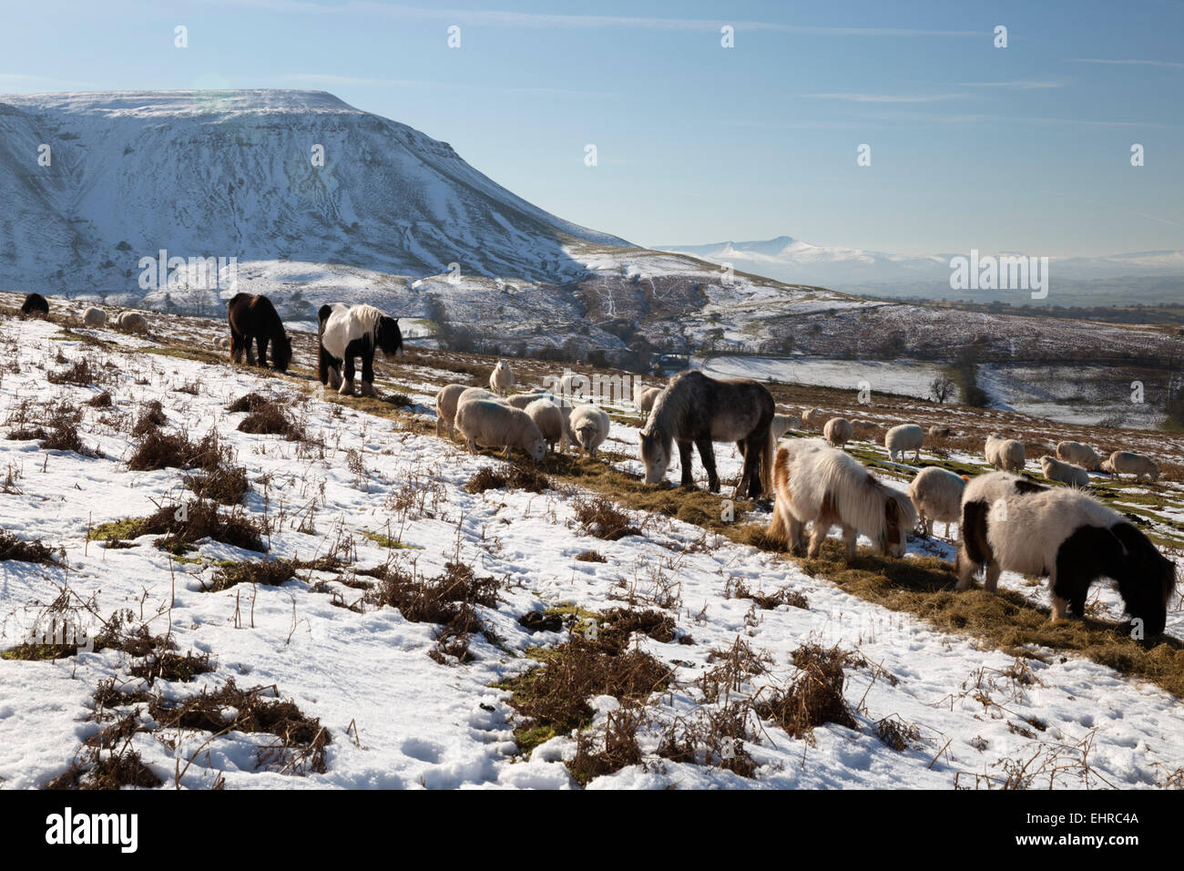 Livestock below Hay Bluff with view to Pen y Fan peak, Black Mountains, near Capel-y-ffin, Brecon Beacons Powys, - Stock Image
