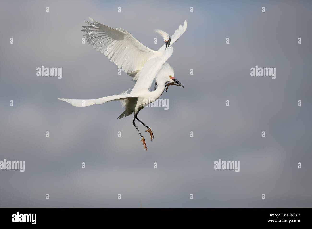 Snowy Egret, Egretta thula, two fighting at breeding grounds - Stock Image