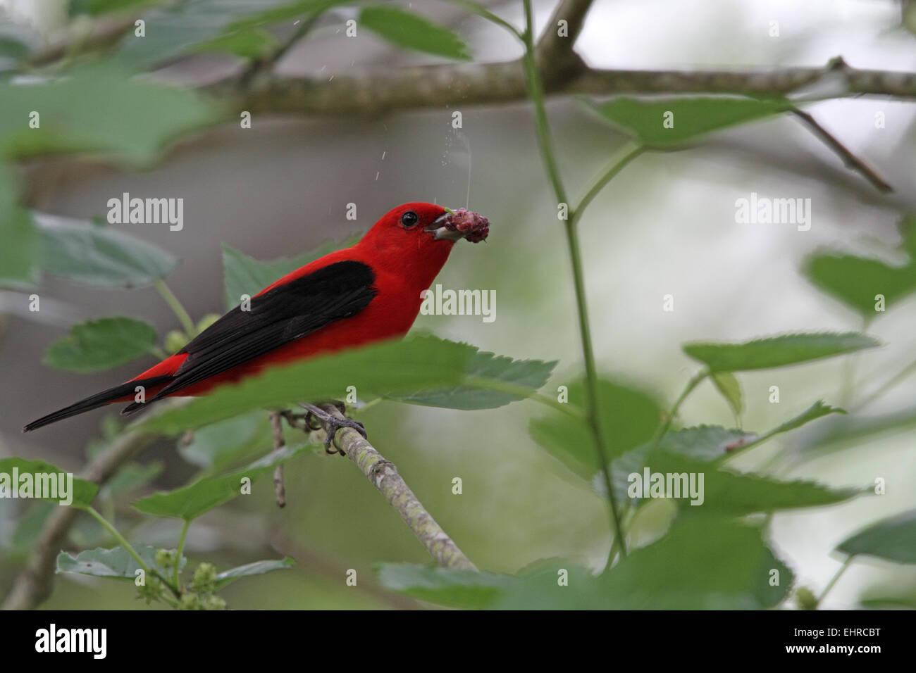 Scarlet Tanager, Piranga, olivacea, feeding on Mulberry - Stock Image
