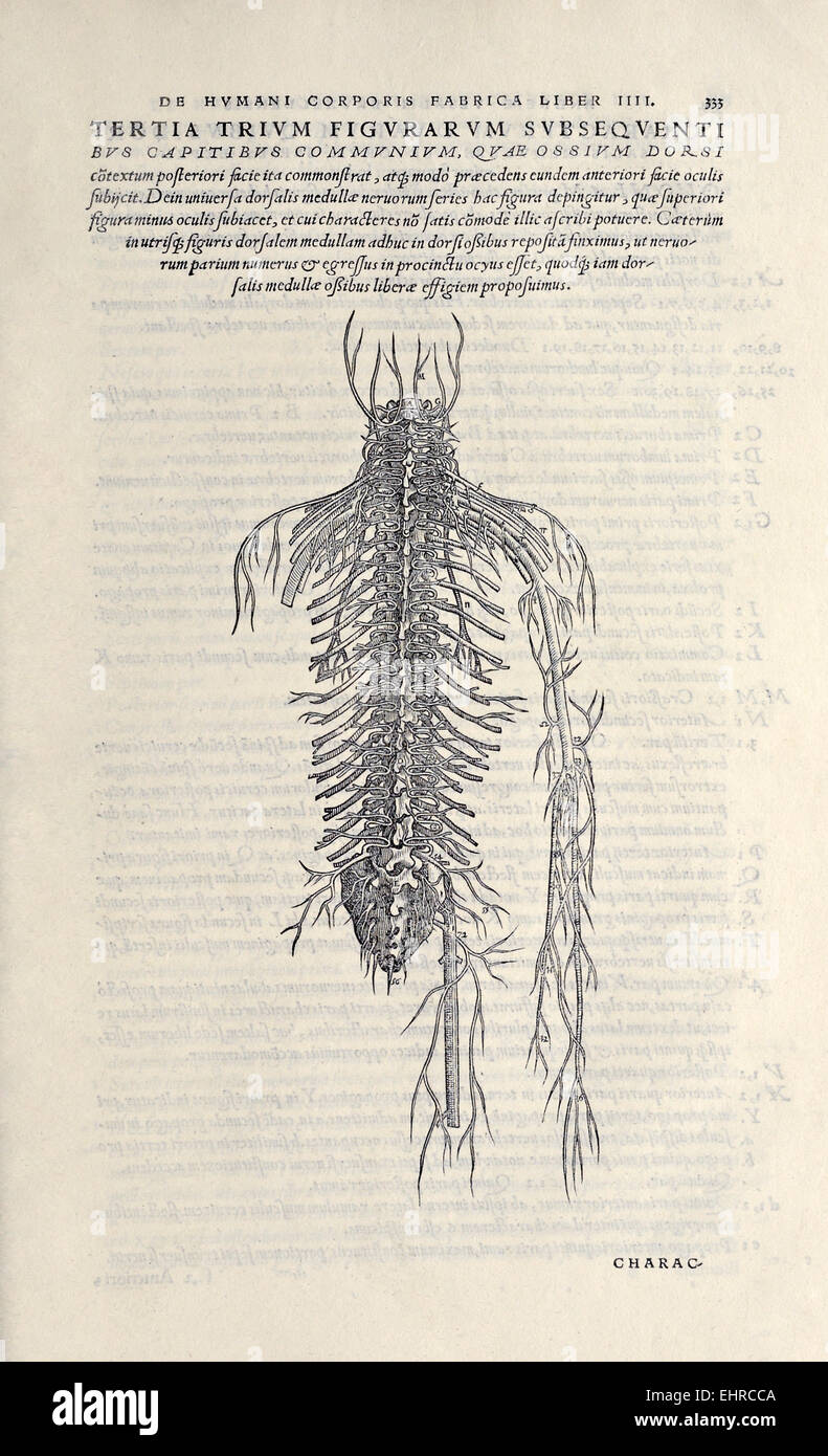 Half Figure Showing The Nerves From The Back From De Humani Stock