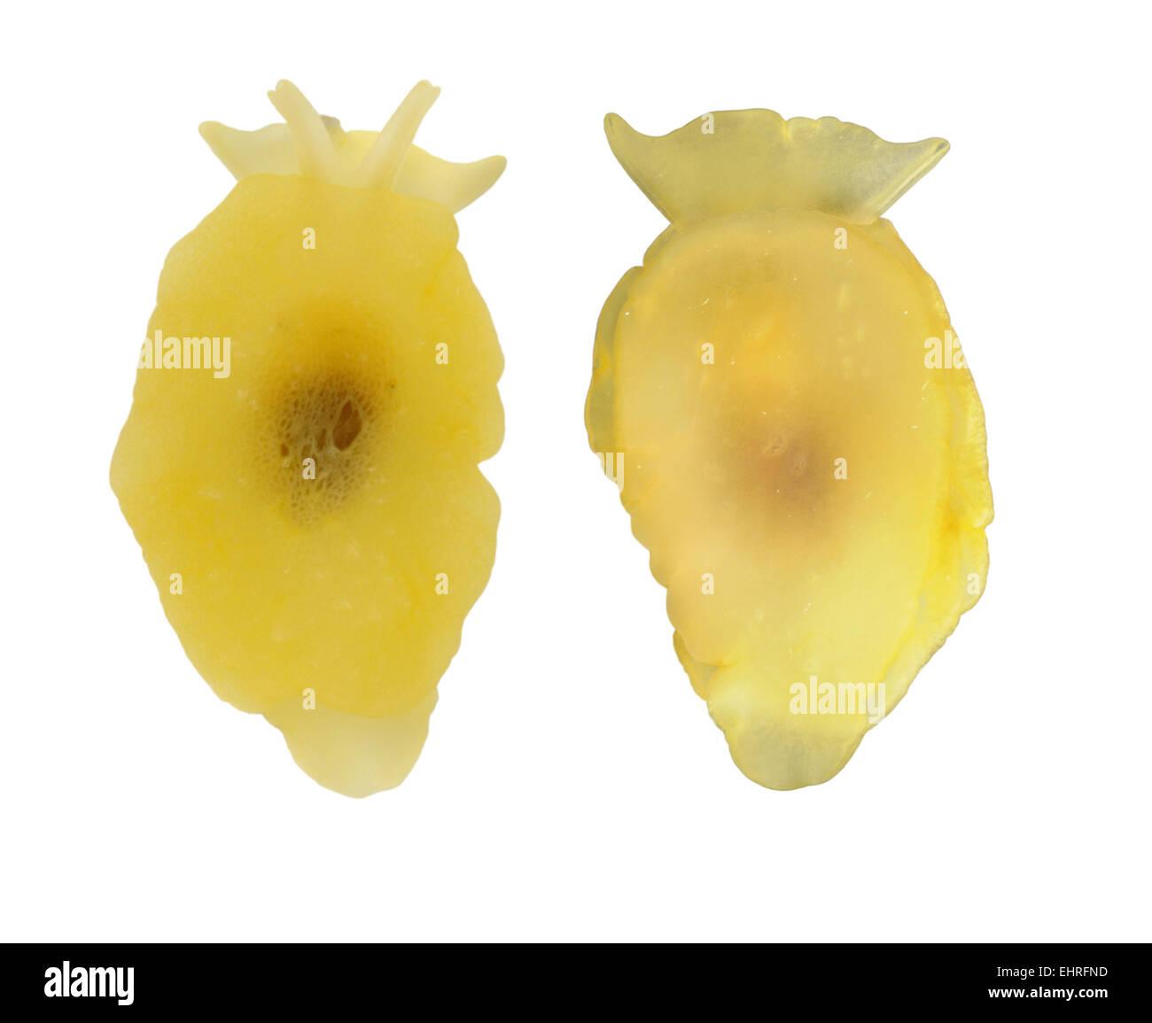 Yellow-plumed Sea Slug - Berthella plumula - Stock Image
