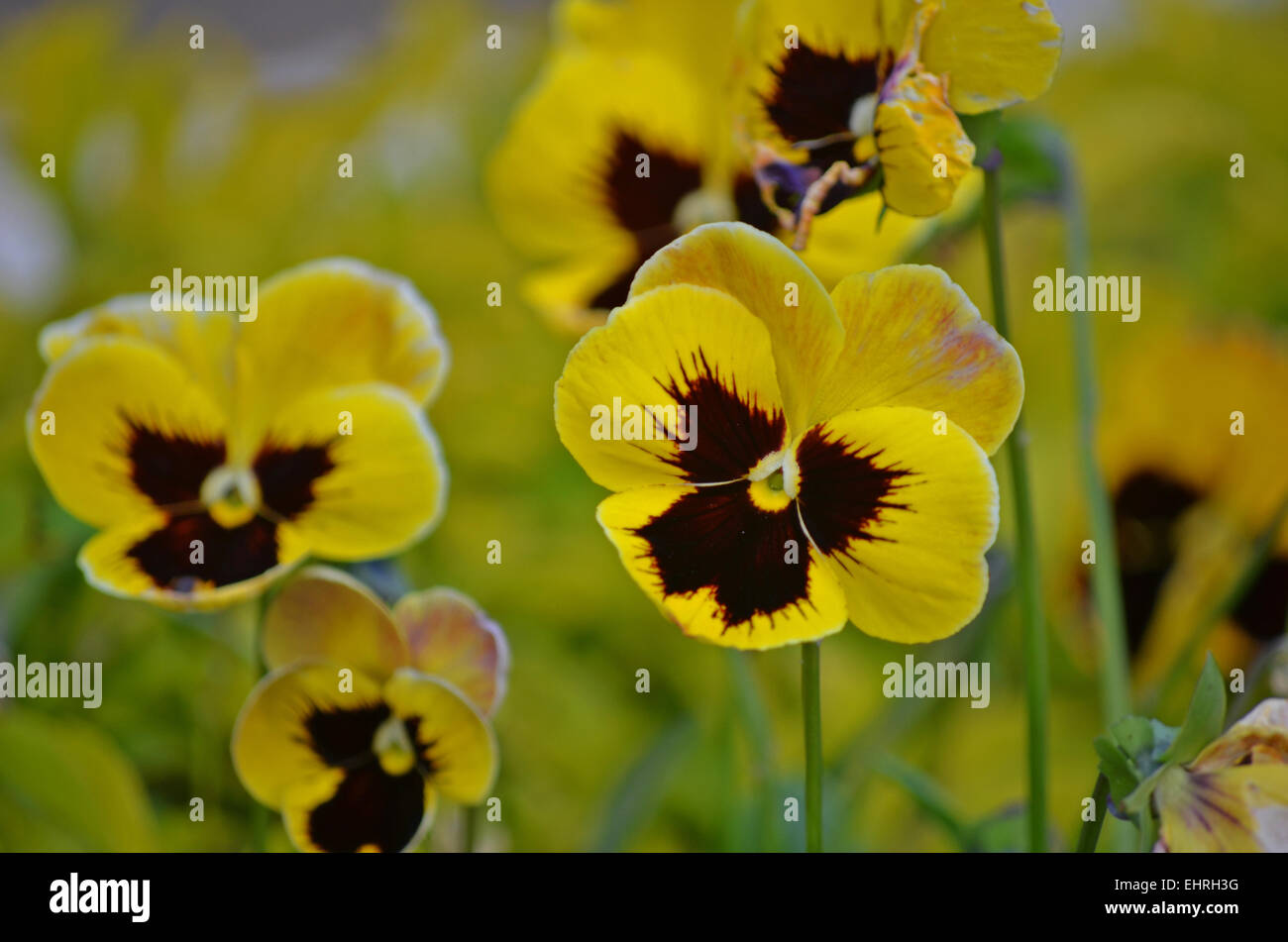 Yellow Pansy Flower In A Botanical Garden At Ootytamil Naduindia