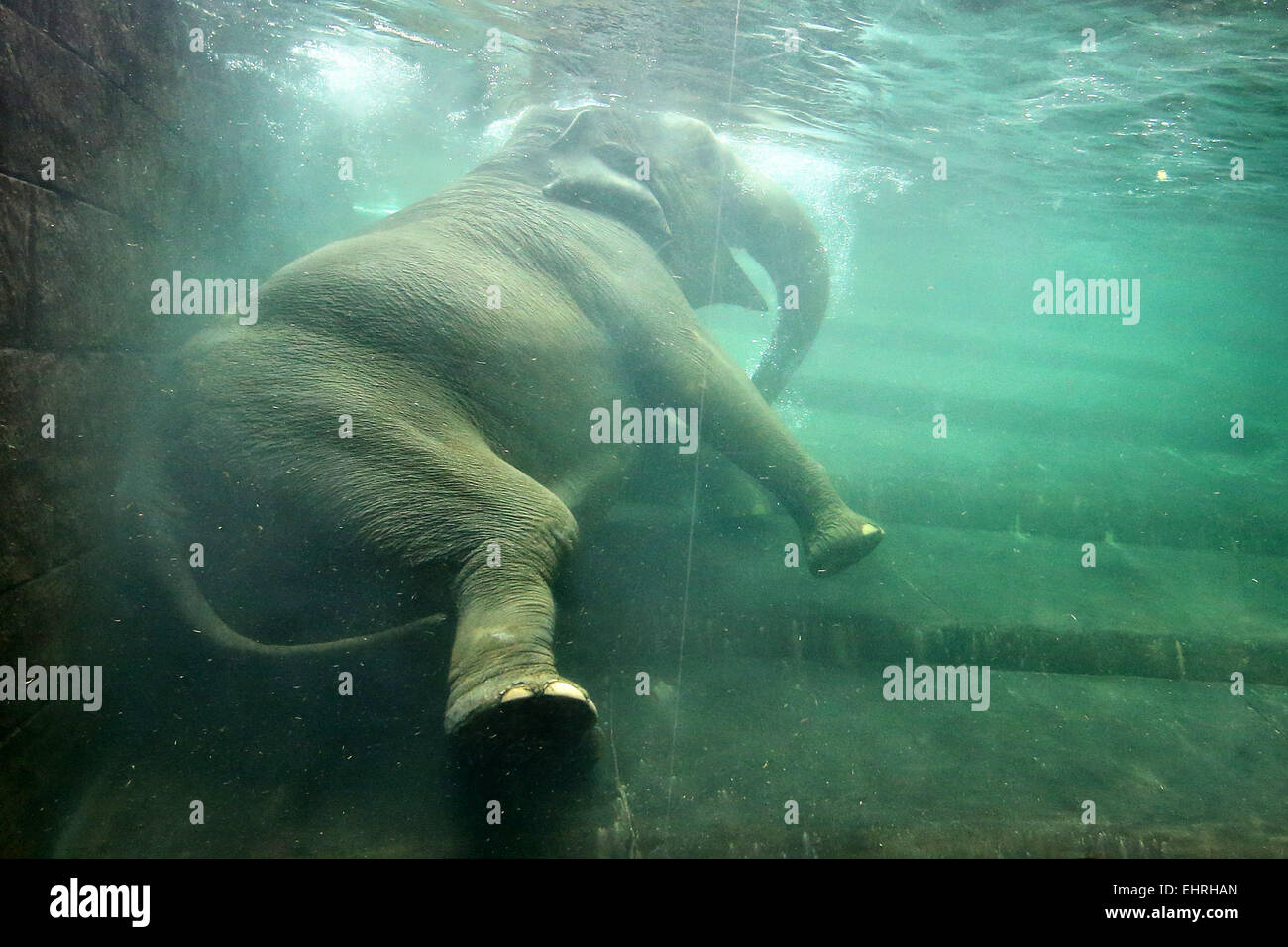 Pregnant cow stock photos pregnant cow stock images alamy - Swimming pool leipzig ...