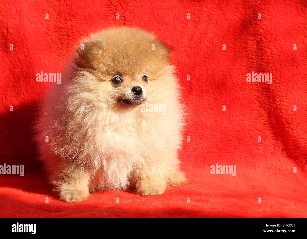 Pomeranian Dog Sitting On A Red Background Stock Photo 79810865 Alamy