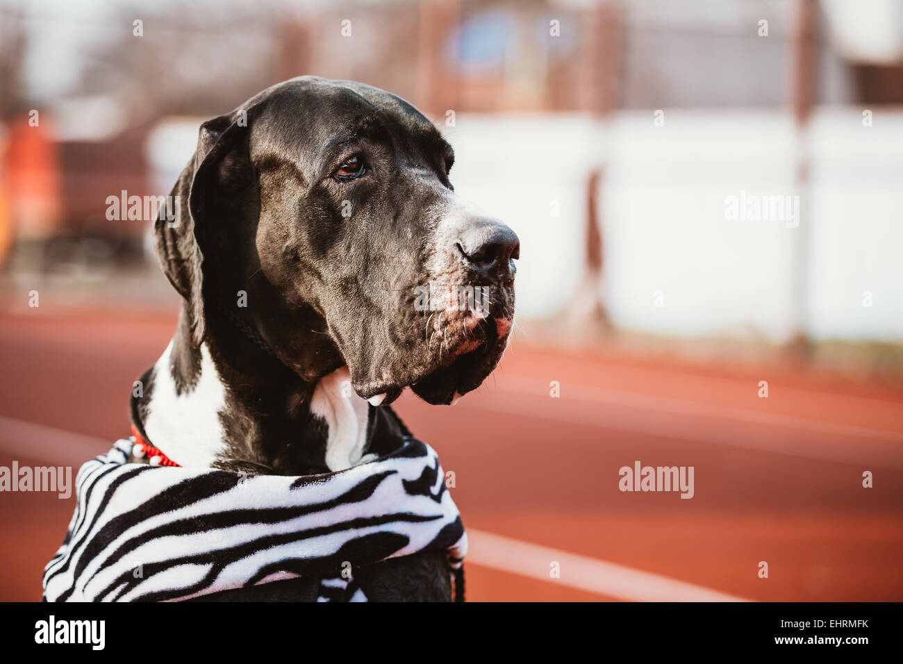 Close Up Great Dane Female Dog Watchdog - Stock Image