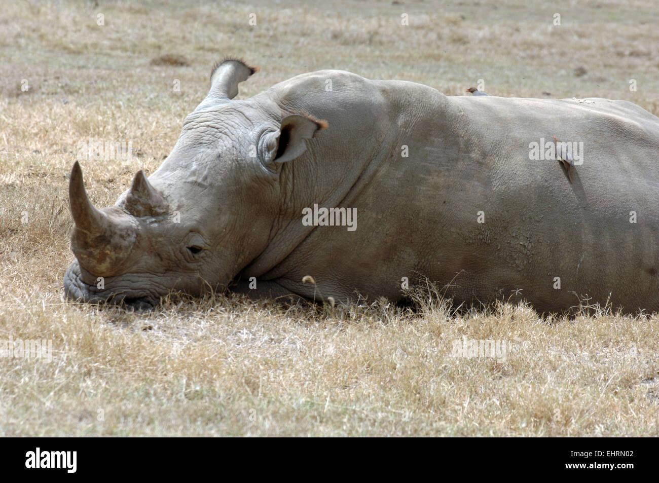Rhino at Lake Nakuru National Park, Great Rift Valley, Kenya, Africa. Stock Photo