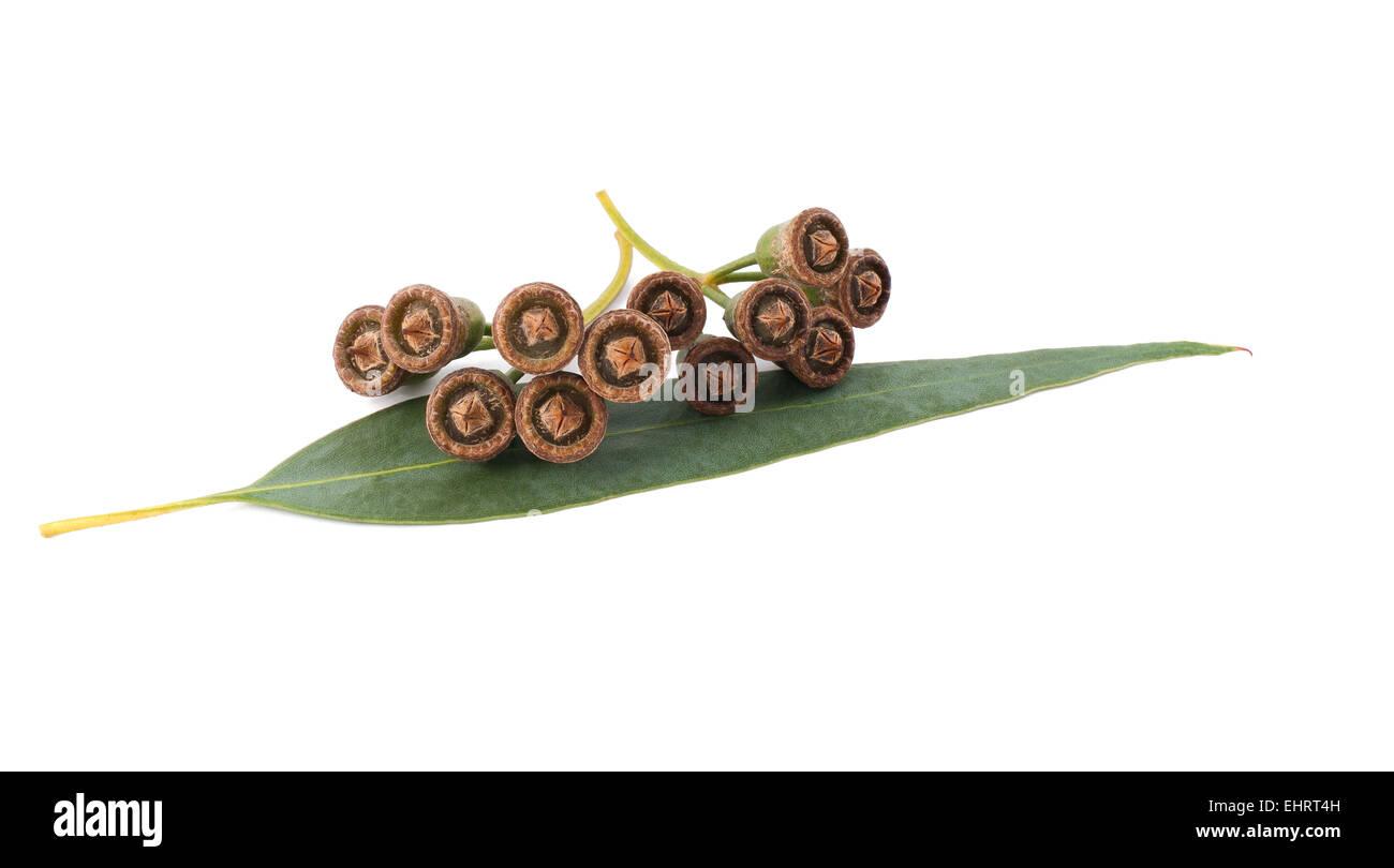 eucalyptus seeds isolated on white - Stock Image