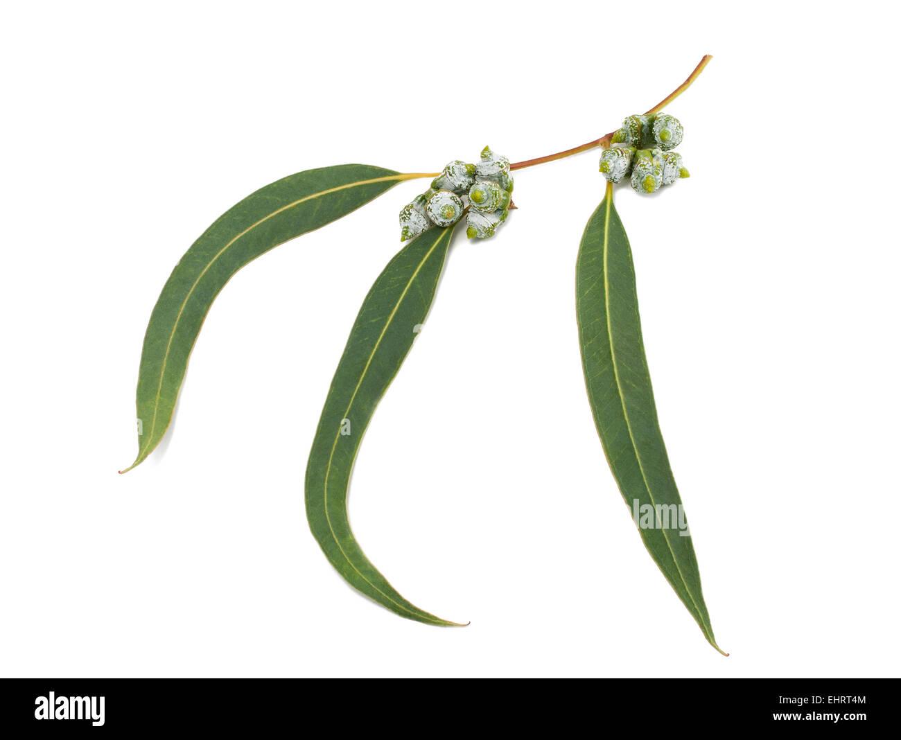 Eucalyptus branch isolated on white - Stock Image