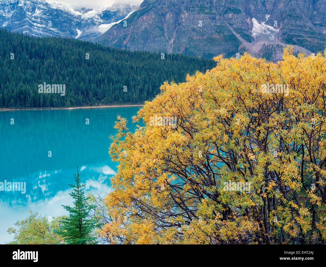 Willow tree in fall color and Waterfowl Lakes. Banff National Park, Alberta, Canada - Stock Image