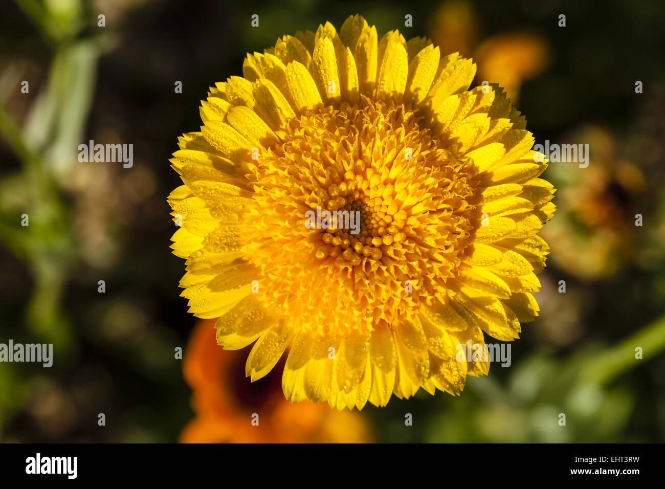 Marigold (Calendula officinalis) - Stock Image