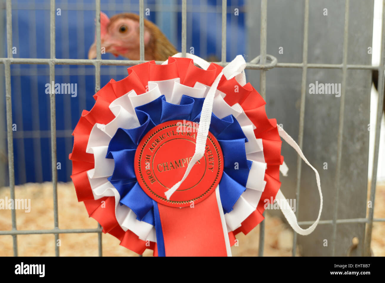 A prize winning cockerel is awarded a rosette at an Agricultural show, Brough Sowerby, Cumbria UK - Stock Image