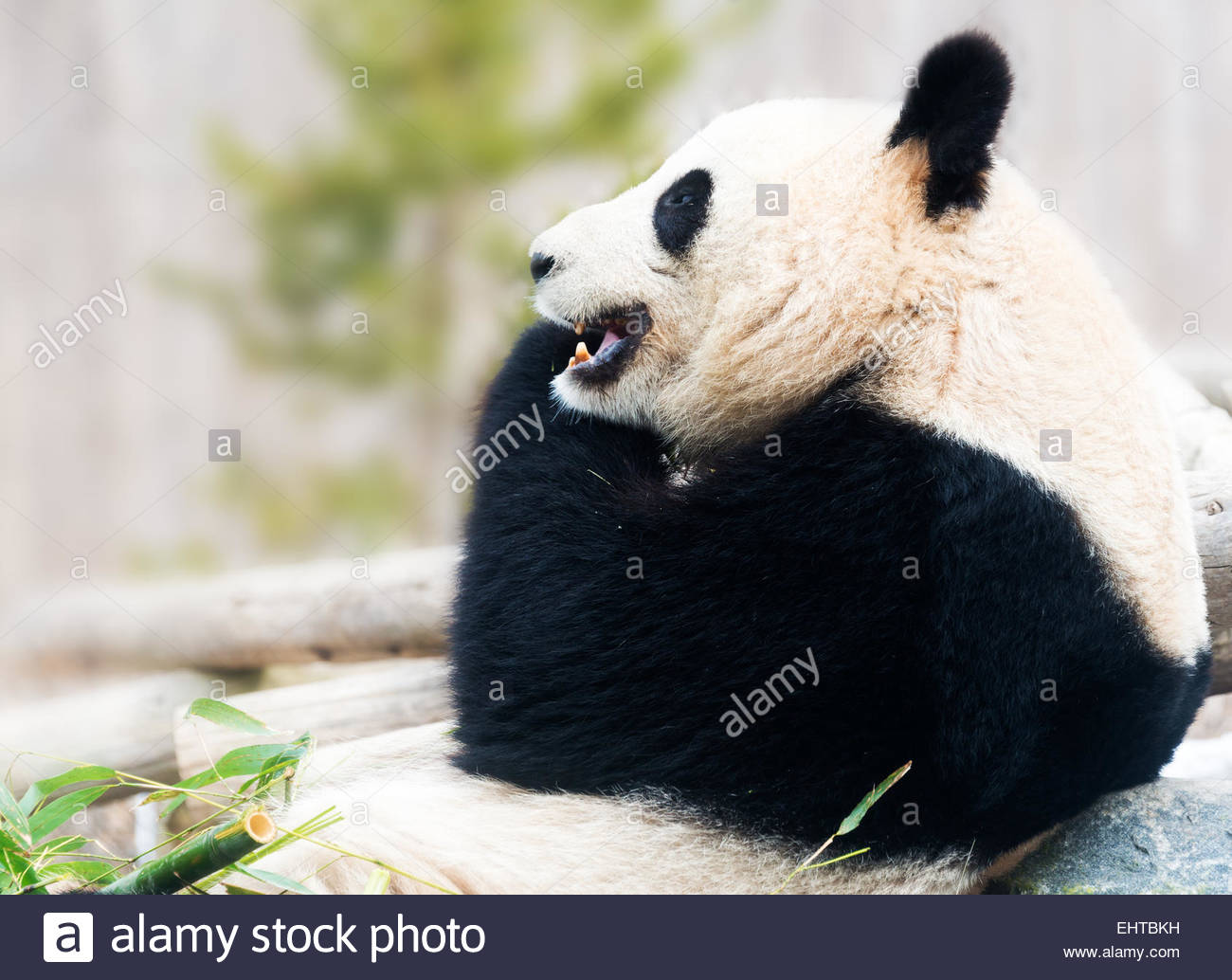 Big Panda bear resting on rock and eating bamboo during daytime - Stock Image
