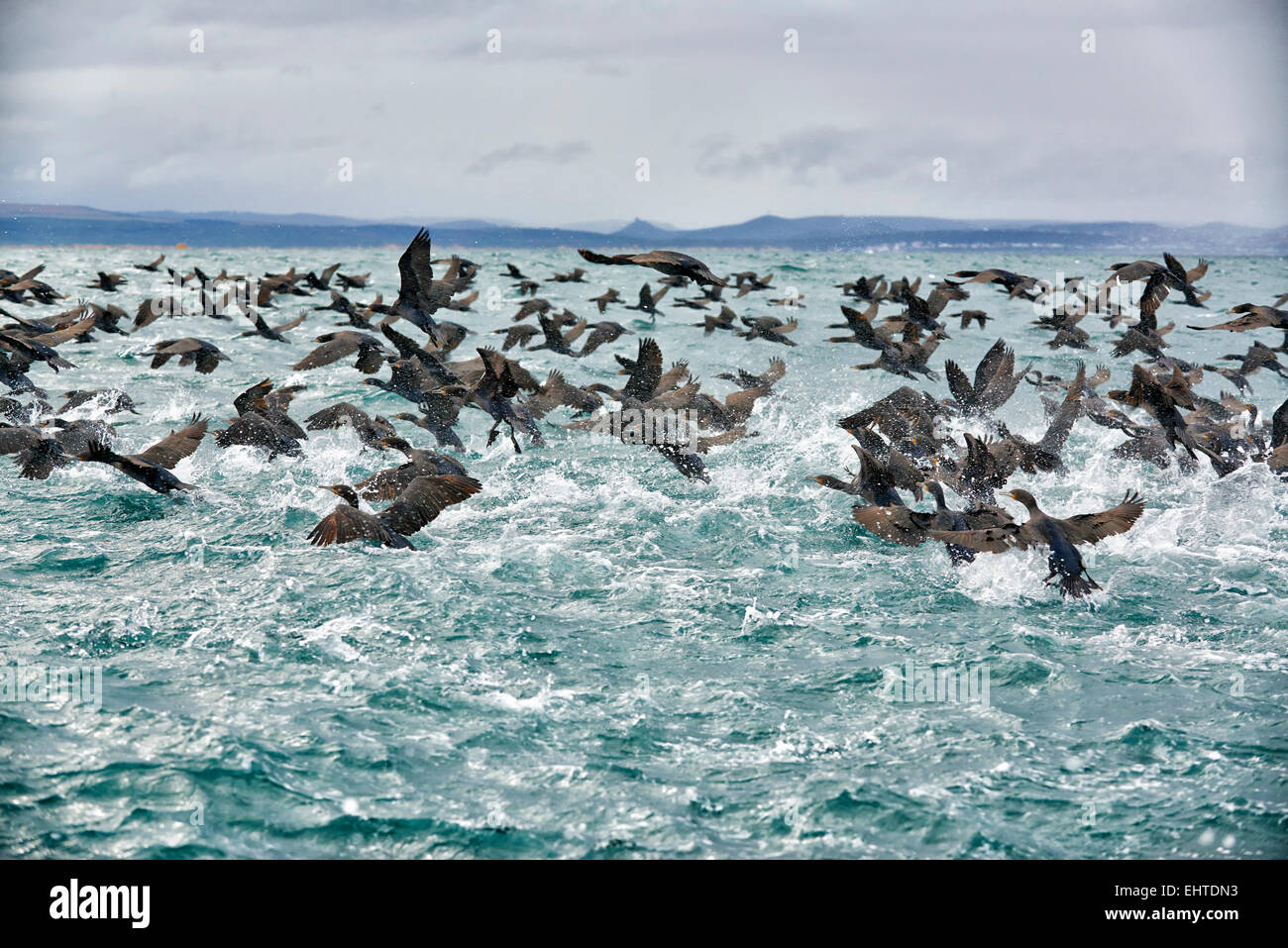 huge swarm of cormorants (Phalacrocorax carbo) in Mossel Bay, Western Cape, South Africa - Stock Image