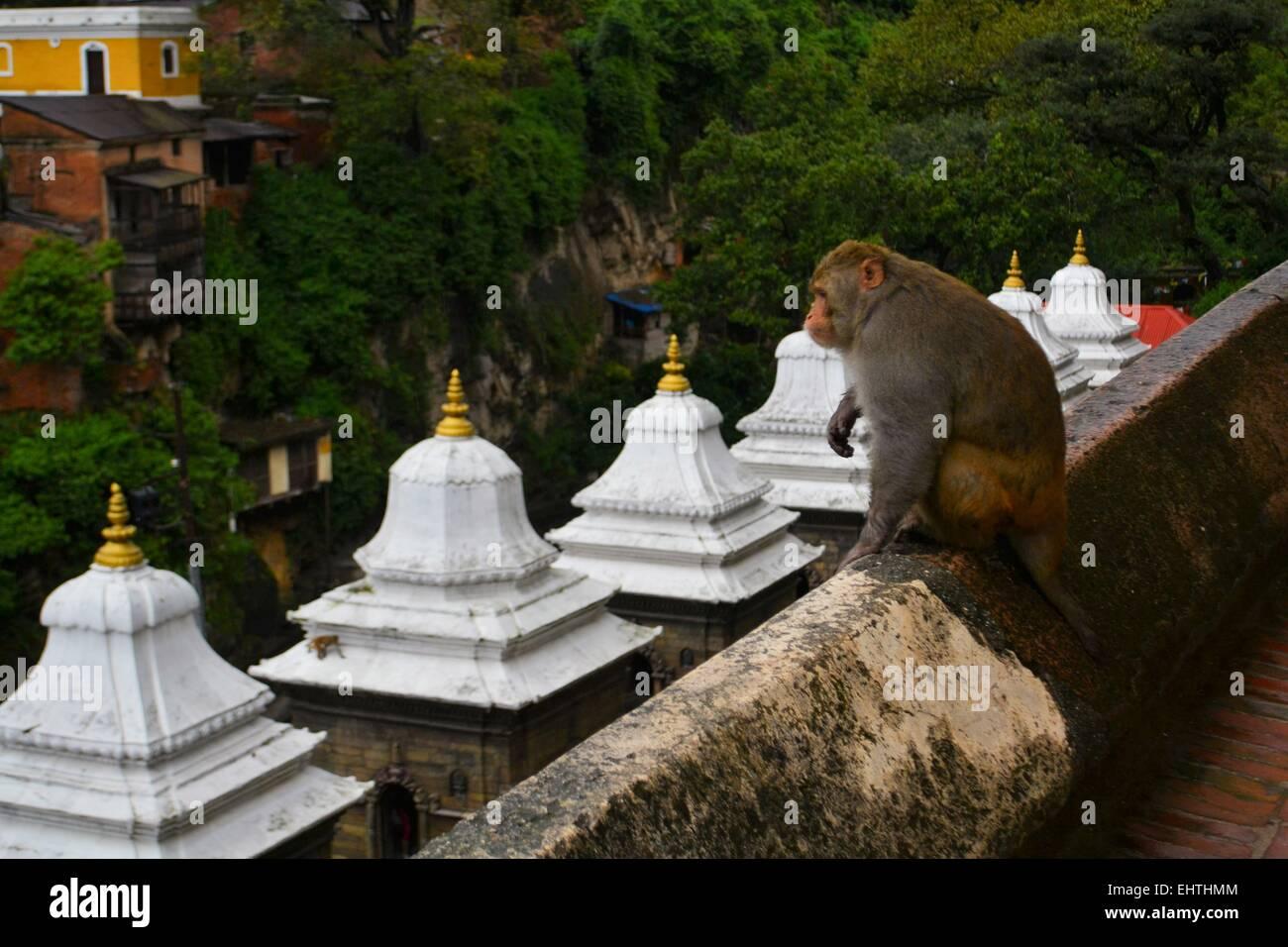 Monkey at Pashupatinath temple, Khatmandu - Stock Image